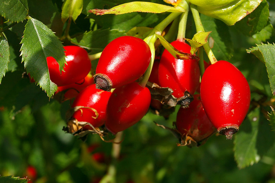 Rosehip oil is a rich source of skin nutrition